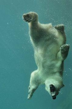 Urso polar nadando.