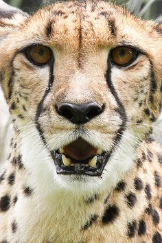 Cheetah Face <3