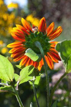Helianthus annuus 'Claret' is backlit in The Cut Flower Garden. Chanticleer