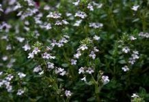 An Unexpected Eco-Lawn Alternative Thyme Herb Seeds, Garden Seeds, Herb Garden, Lawn And Garden, Thyme Essential Oil, Sacred Plant, Plantar, Medicinal Herbs, Fresh Herbs