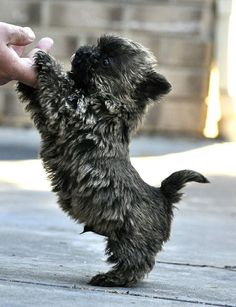 Adorable Cairn Terrier.