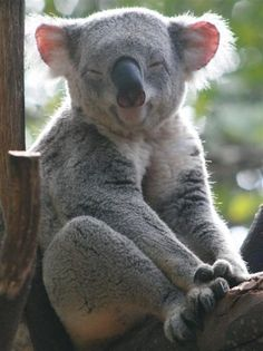 Koala enjoy a sunny afternoon Animals For Kids, Animals And Pets, Cute Animals, Baby Koala, Koala Bears, Bear Totem, Australian Animals, Cute Creatures, Exotic Pets