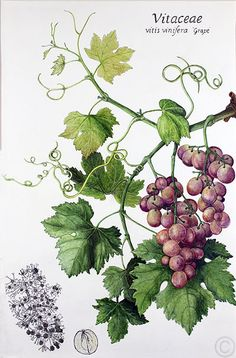Ruth de Monchaux: Grapes, Watercolour