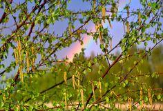 природа, весна, дерево, береза, ветки, сережки, радуга