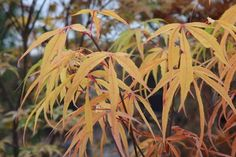 Acer palmatum Aoyagi Gawa