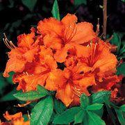 Gibraltar Azalea Garden Shrubs, Flowering Shrubs, Trees And Shrubs, Trees To Plant, Garden Soil, Flowers Perennials, Planting Flowers, Azalea Color, Rhododendron