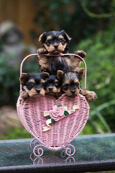 Yorkie babies...so sweet and tiny :)