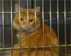 *Peachey is an adoptable Domestic Medium Hair - Orange & White Cat in Hot Springs, AR. I would love a new home! Come see me at the shelter & see if I'm the right pet for you! I'm ready for adoption!
