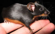 Black and tan mouse :)