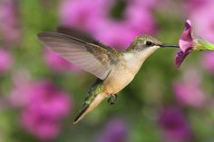 If you want hummingbirds to visit your yard, you have to lure them with the plants they like best. Here are eight of their favorite flowers.