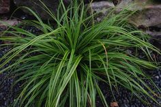 Carex oshimensis 'Everlime' PPAF|Juniper Level Botanic Gdn, NC|