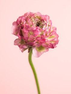 Renoncule Lajoiedesfleurs.fr Wicken, Narcisse, Ranunculus, Spring Flowers, Exterior, Rose, Gardens, Funny, Painting