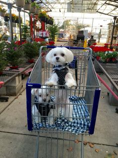 I love shopping with my parents. I wish there were more stores permitting us to come in. #shopping #lowes #arodwang #baileybee #maltese