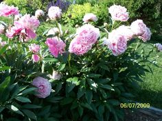 Sarah Bernhardt Peony covered with lovely large fragrant blooms - 4' Tall & 4' Wide - Blooms Late Spring to Summer - Full Sun - Fertilize B4 new growth begins - -30*F