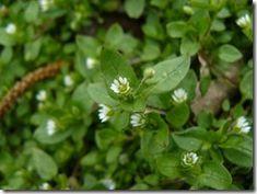 Gwiazdnica pospolita - chwast o cudownych właściwościach i działaniu Planting Flowers, Flora, Survival, Herbs, Health, Plants, Spices, Gardening, Diet