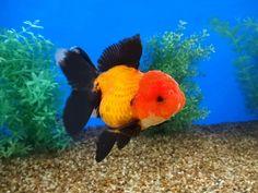 Auction Items Listing Goldfish Species, Black Veil, Auction Items, Cute, Animals, Animales, Animaux, Kawaii, Animal