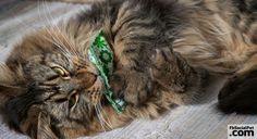 Gli effetti del Catnip o erba gatta sui felini L'erba è come la frutta. Ti mantiene in forma e ti libera la mente. #Iloveanimals #Ilovepets #IlovemyMaineCoon #cats #FbSocialPet