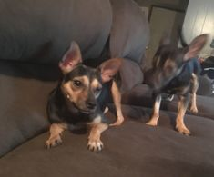 ~~~olive and popeye~~~ is an adoptable miniature pinscher searching for a forever family near West Hartford, CT. Use Petfinder to find adoptable pets in your area.