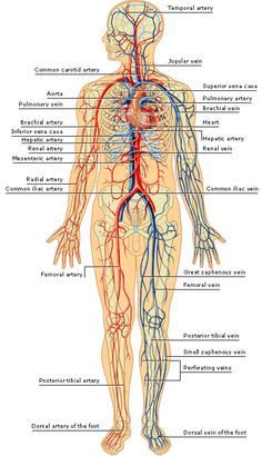 Diagram of human body organs picture of body organs medical arteries and veins of the human body arteries inside the skull this contrast x ray ccuart Images