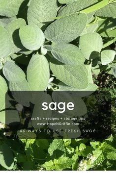 Sage is a wonderful addition to any herb garden for many reasons. Tonight we are having Sage Butter Biscuits, Sauteed Carrots, and Buttermilk Herb Chicken. Thyme Recipes, Herb Recipes, Clean Recipes, Cooking Recipes, Healthy Recipes, Mint Plant Uses, Mint Plants, Fresh Sage Recipe, Sage Uses