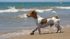 Jack Russell Terrier Training, Socialization and Selection | Jack ...
