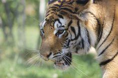 Au Vietnam,  notre partenaire Education for Nature mène des actions pour réduire le trafic illégal de produits à base de tigre et encourager le public à lutter contre ce fléau grâce à des campagnes de sensibilisation.   #Tigres © Awely, des animaux et des hommes