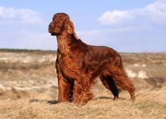 Irish Setter Origem: Irlanda Grupo: Cães de Caça Altura: 58 a 67 cm  Peso: 27 a 32kg  Expectativa de vida: 12 a 15 anos.   vipsites.wix.com/vidavetcare  #IrishSetter#raçasdecães #guiaderaças #veterinário #cachorro
