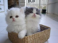 Funny Animal Pictures - View our collection of cute and funny pet videos and pics. New funny animal pictures and videos submitted daily. Fluffy Kittens, Kittens And Puppies, Little Kittens, Cute Cats And Kittens, I Love Cats, Crazy Cats, Kittens Cutest, Kitty Cats, Persian Kittens