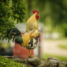 (via Your Morning Call by adamix69)  #rooster