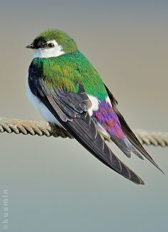Violet-green swallow (Tachycineta thalassina)