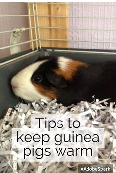 Tips to keep guinea pigs warm in winter? Keep them in the house! That is where they belong! Guinea Pig Hutch, Guinea Pig Food, Guinea Pig House, Baby Guinea Pigs, Guinea Pig Care, Pet Pigs, Baby Pigs, Diy Guinea Pig Toys, Guinea Pig Clothes