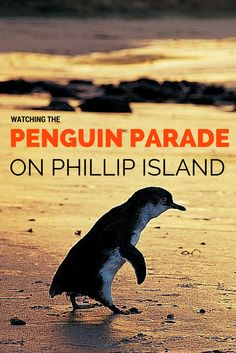 Top tips for watching the amazing penguin parade on Phillip Island in Victoria, Australia.