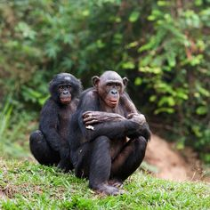 Bonobos are one of our followers favourite species.
