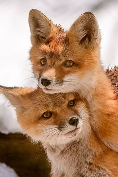 cute little foxes
