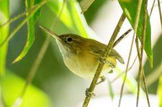 Foto bico-assovelado (Ramphocaenus melanurus) por Publio Rodrigues | Wiki Aves - A Enciclopédia das Aves do Brasil