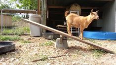 15 Goat's Playground Ideas For Your Farm - The Best Goat Playground Ideas, Tips, Plans and Images Mini Goats, Baby Goats, Goat Playground, Playground Ideas, Backyard Playground, Goat Shelter, Goat Pen, Goat Care, Nigerian Dwarf Goats