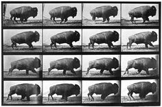 Eadweard Muybridge Buffalo; Galloping 1887, collotype Iris and B. Gerald Cantor Center for Visual Arts, Stanford University, Stanford Family Collections