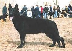 Kunming Dog is known for its sharp personality