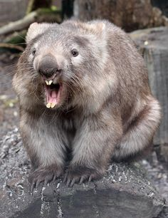 """quollism: """" This is not a quoll, but it is a marsupial. This is a common wombat at Caversham Wildlife Park called Harry. Like rats, wombat teeth never stop growing and need to be ground down by wear..."""