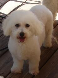 Violet is an adoptable Bichon Frise Dog in Barneveld, WI. Violet is a very sweet female bichon frise. She's a precious little girl with an endearing personality. She was rescued from a puppy mill and ...