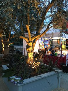 Beautiful olive tree for sale at the Fresno Home & Garden Show, March 2016