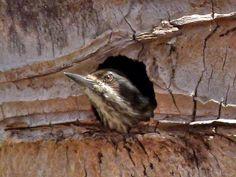 Sunda Pygmy Woodpecker nesting