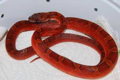 Pied-Sided Bloodred cornsnake All About Snakes, Cool Snakes, Beautiful Snakes, Pet Snake, Water Dragon, Dragon Pattern, Amphibians, Butterflies, Passion