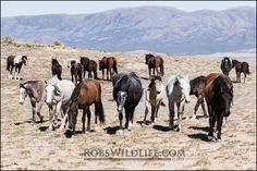 Herd of Wild Horses, Brown Horses, Horse Photography, Rob's Wildlife, Gifts for Horse Lovers, Horse Wall Art Home Decor by RobsWildlife on Etsy https://www.etsy.com/listing/228815322/herd-of-wild-horses-brown-horses-horse