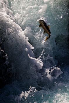 Spawning Salmon | Salmon Leap, Olympic National Park (by Charlotte Hamilton Gibb ...