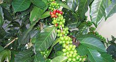 Red Bud Premium Coffee Blends