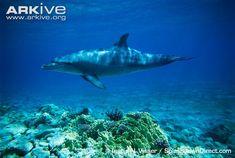 Google Image Result for http://cdn1.arkive.org/media/6A/6ADC93CF-1C9E-4B7A-ACB4-8845BC480240/Presentation.Large/Indian-Ocean-bottlenose-dolphin-swimming.jpg