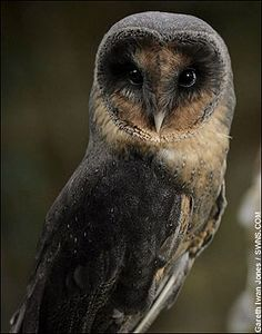 """This young barn owl is one in a million after being born with a rare genetic condition that has made her feathers jet black. Sable, who is two years old, suffers from melanism, a 100,000-to-one gene mutation that makes her the exact opposite to an albino. Dark-hued owls are normally killed at birth by their confused mothers but Sable was born in captivity and so she survived, meaning she is one of only three in existence in Britain. """