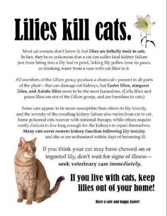 Keep your cat safe from Lilies! I think asparagus is in the Lilly family too. Cat Care Tips, Pet Care, Pet Tips, Crazy Cat Lady, Crazy Cats, Cat Info, Gatos Cats, Here Kitty Kitty, Kitty Cats