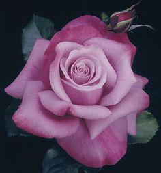 Barbra Streisand Rose (photo © Bailey Nurseries) - amazing she must love purple too My Flower, Pretty Flowers, Rose Foto, Rose Violette, Rosa Rose, Coming Up Roses, Hybrid Tea Roses, Purple Roses, Lavender Roses